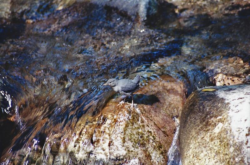 5/6/01 American Dipper (Cinclus mexicanus). Gabrielino Trail to Sturtevant Falls. Big Santa Anita Canyon, San Gabriel Mountains, Angeles National Forest, Los Angeles County, CA.