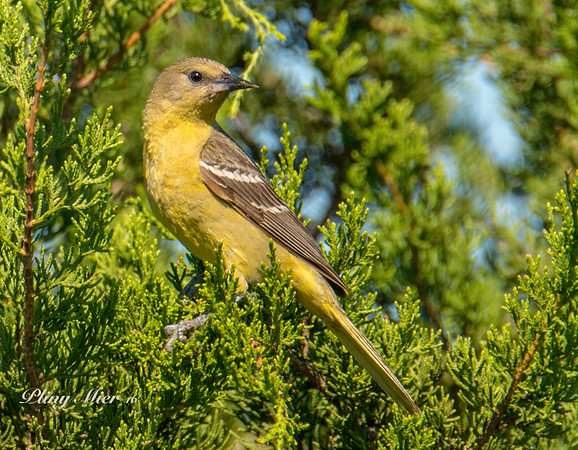 Orchard Oriole 4_DWL8745-3.jpg