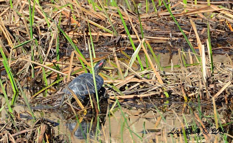 Turtle - 12/14/2014 - Poway Creek