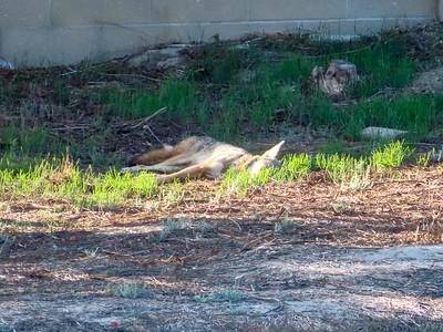 Coyotes October 30 2018
