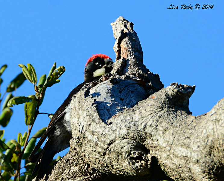 Acorn Woodpecker - 7/20/2014 - Penasquitos Canyon, Black Mtn start