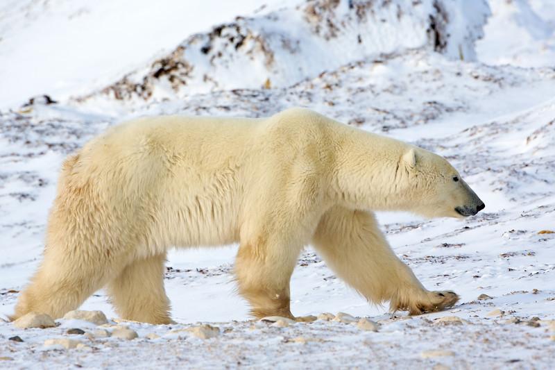 polar bear  5942.jpg