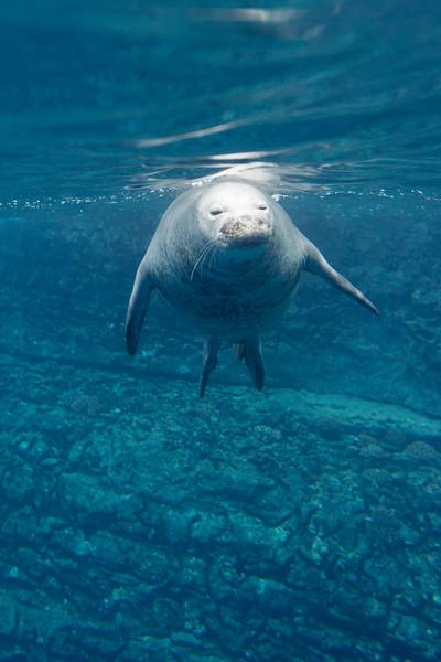 monk seals-6.jpg