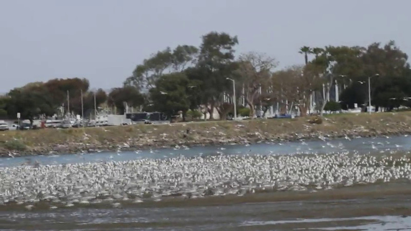 Huge congregation of mainly California Gulls on San Diego River near Robb Field, San Diego County, California, February 2012