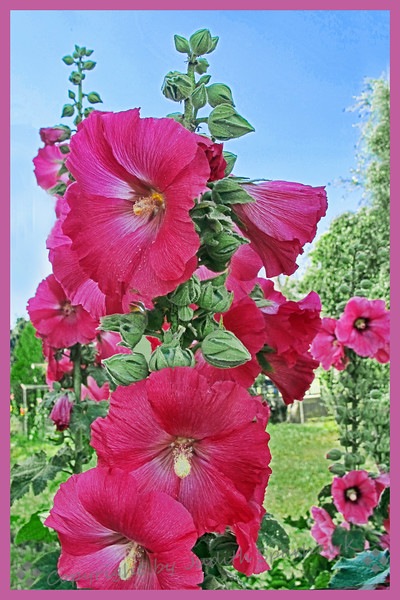 Redlands Hollyhocks
