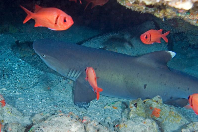 White Tip Reef Shark 3.jpg