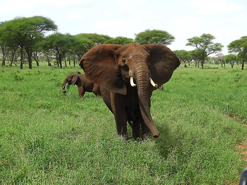 Elephant False Charge DSCN0307.jpg