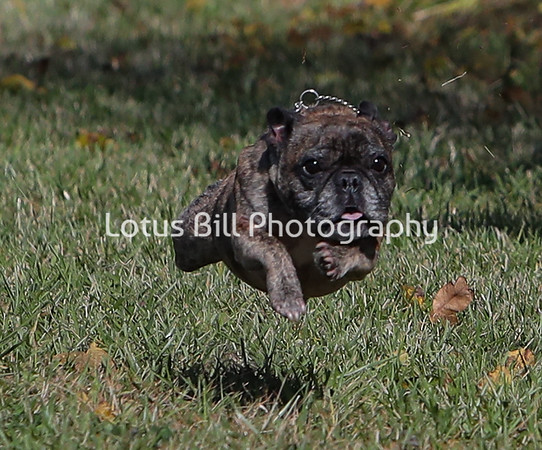 French Bulldog Brindle SR31