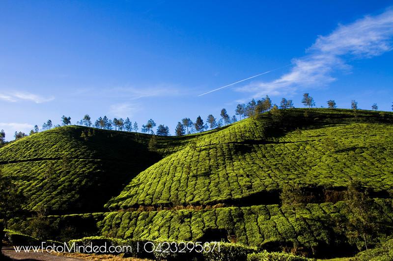 Tata Tea Estate. About 85% of Munnar is Tata Tea Estate.
