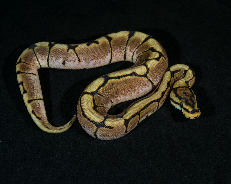 Spider Het Albino F0114, $75, sold, Mike