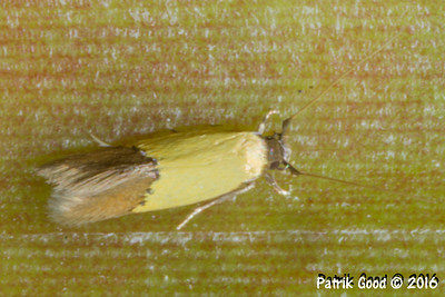 Yellow Brown-tailed Moth