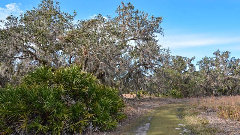 Grassy trail by oaks