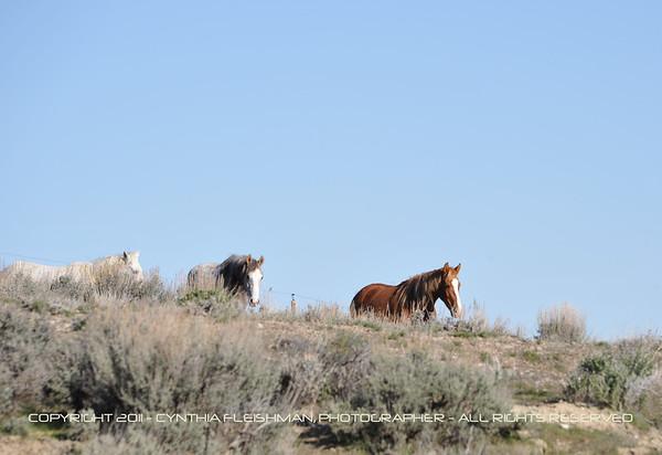 Sand Wash Basin - Wild Horses