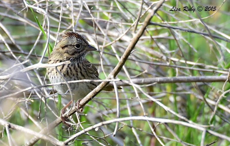 Lincoln's Sparrow -  12/6/2015 - Marston Canyon,