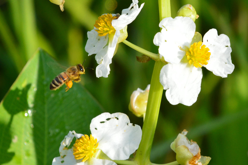 Bee-onSpadoxwaterplantflower.jpg
