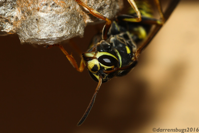 Paper wasp, most likely Polistes fuscatus, from Iowa.