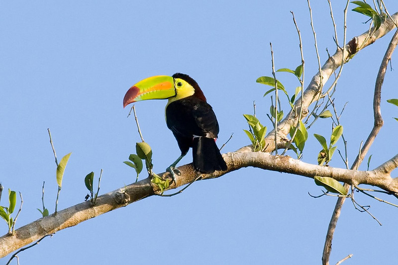 Keel-billed Toucan 1 at EcoToucan, Bacalar, Quintana Roo, Mexico (February 29, 2008).psd