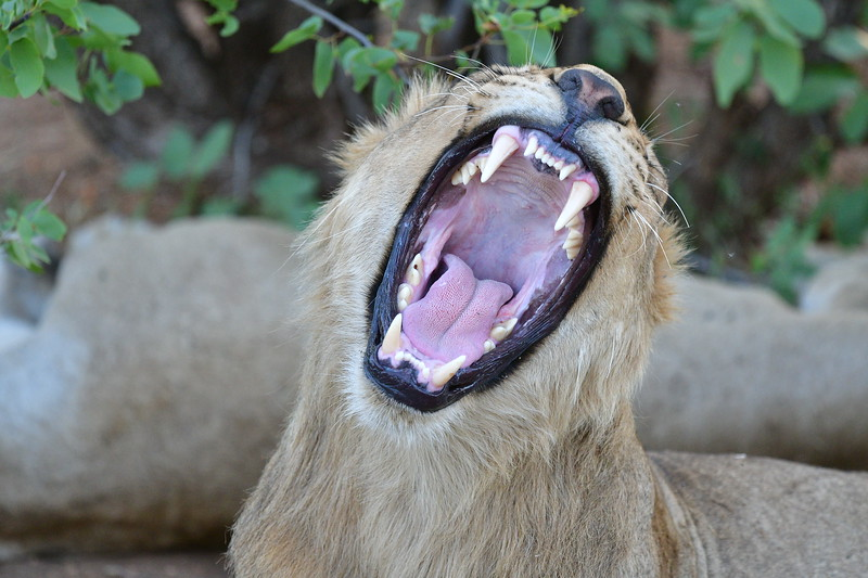 Gaping Lion Mouth