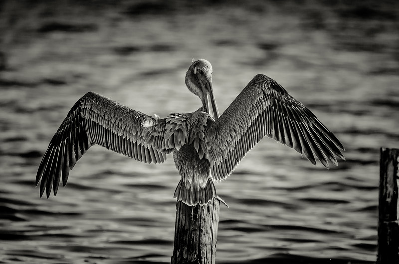 Pelican wings BW 102916 (1 of 1).jpg