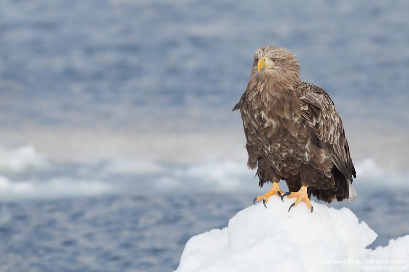 White-tailed Eagle - Hokkaido, Japan