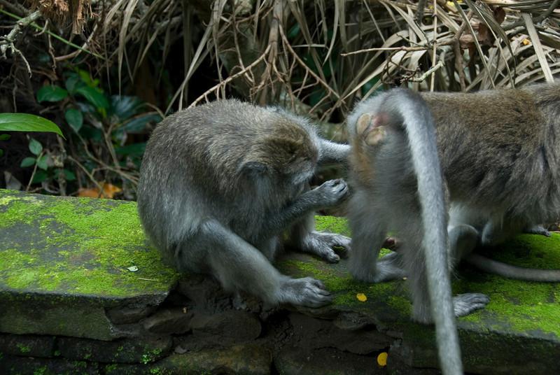 Humorous photo of monkeys in Bali, Indonesia