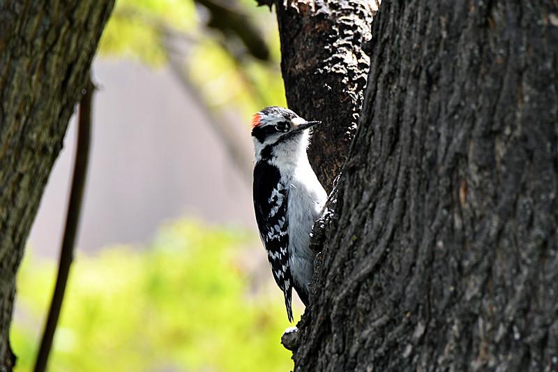 DSC_3571 - Downy Woodpecker.jpg