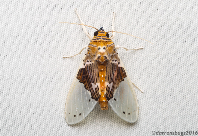 Unidentified moth from Belize.