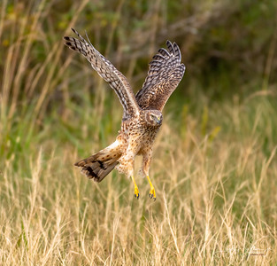 Anahuac Wildlife Refuge  - The Harrier and the Snake