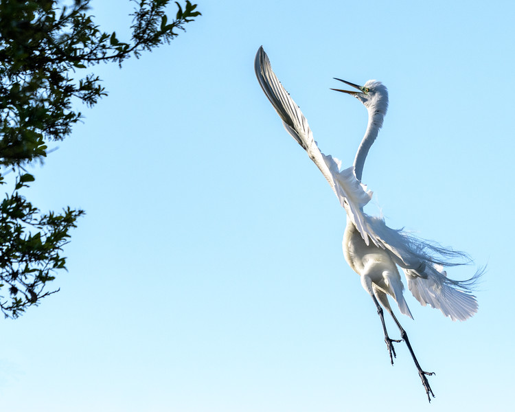 Great White Egret - Reaching for the Stars