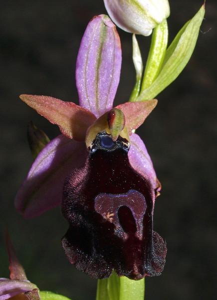 O. ferrum- equinum var. labiosa Kusadasi 02-04-09 (12).jpg