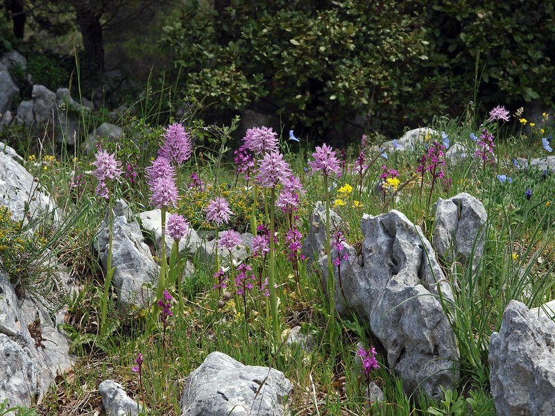 O. italica Monte Sant'Angelo 28-04-10 (125).jpg