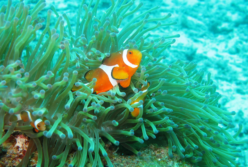 IMG_7484Ar_False Clown anemonefish (Amphiprion ocellaris).JPG