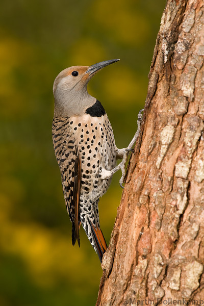 Northern Flicker, red shafted female, its common to see them together with the males.