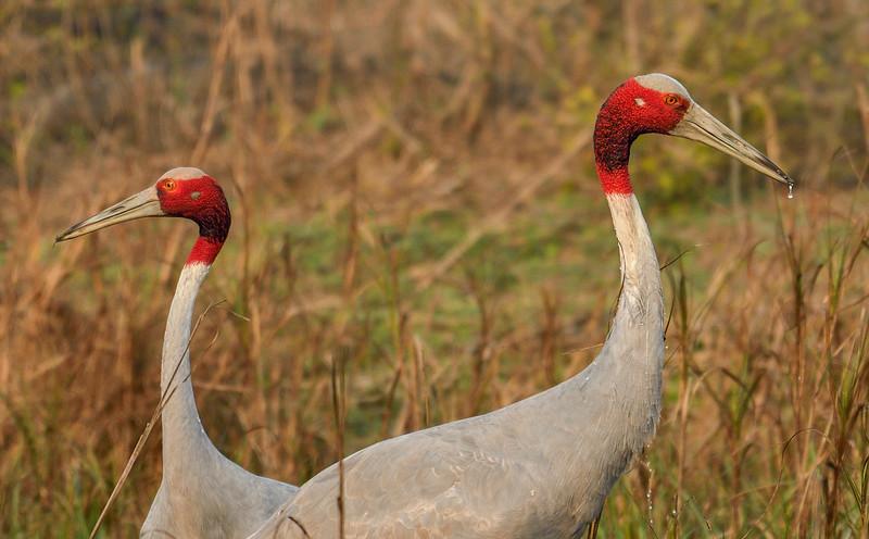 Saurus-Cranes-couple-bharatpur.jpg