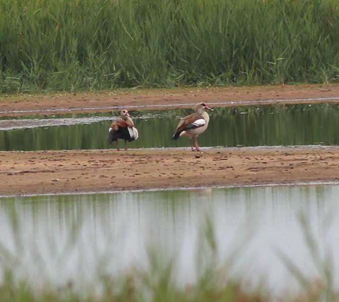 Egytian Goose Texal Island Netherlands 2014 0627-1.JPG-1.JPG-1.JPG