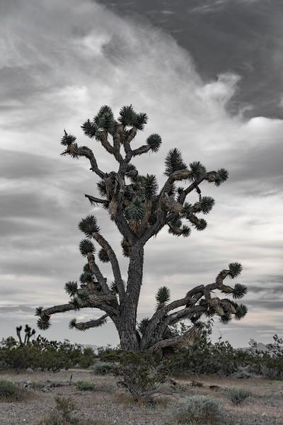 Joshua-tree-nevada-pahrump.jpg
