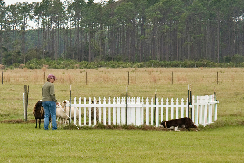 #401 (Sunday) - Gum Slough Gyp, a Border Collie, moved up to the Course A, Advanced level. Gyp qualified with a score of 84.5.  She is owned by E L Adams & M J Williams.