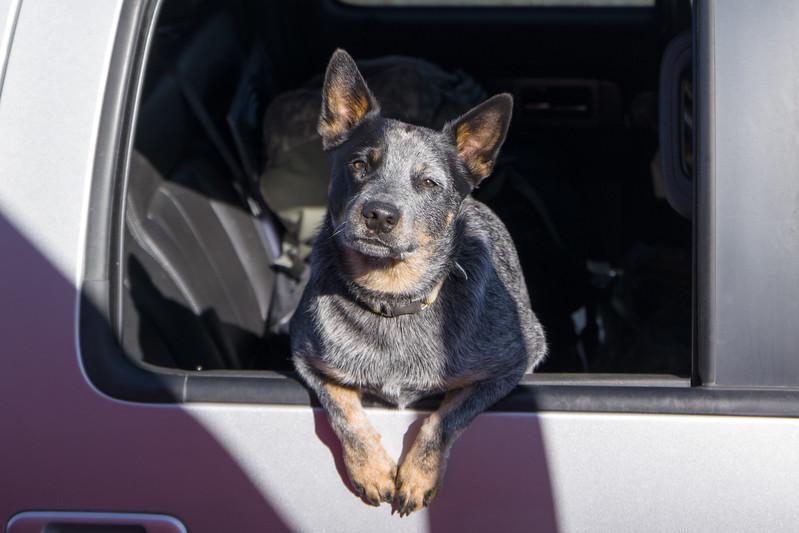 West Virginia Dog