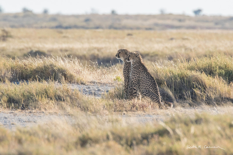 Two young cheetahs scan the Etosha veldt