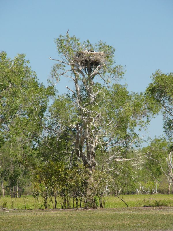 The Jabiru's nest (Yellow Water Billabong) on top of a very ent-like tree. If you look really closely, you can see the Jabiru's young in the nest.