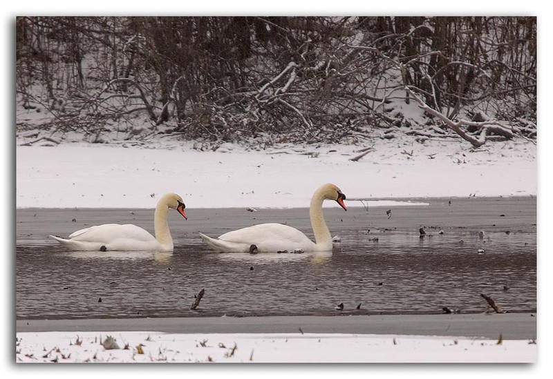 Ice Swans.jpg