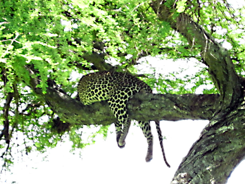 Leopard up a tree DSCN0256.jpg