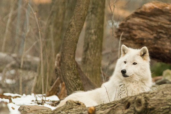 Wolves 2013