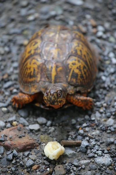 shenandoah-turtle-with-banana_18862063203_o.jpg