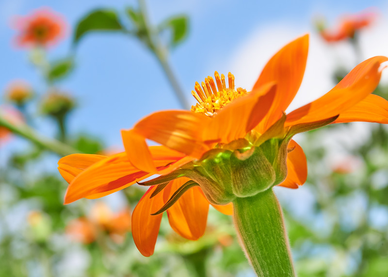 Mexican sunflower, Tithonia rotundifolia