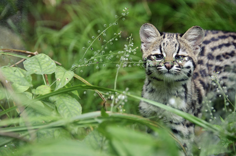 . Chikita, a five-month-old tiger cat cub is pictured, on August 2, 2012 at the zoo in Mulhouse, eastern France.     SEBASTIEN BOZON/AFP/GettyImages