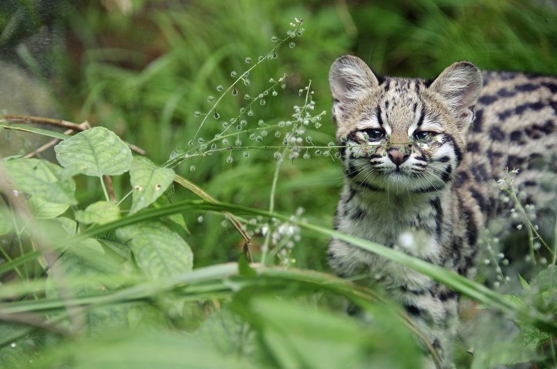 Description of . Chikita, a five-month-old tiger cat cub is pictured, on August 2, 2012 at the zoo in Mulhouse, eastern France.     SEBASTIEN BOZON/AFP/GettyImages