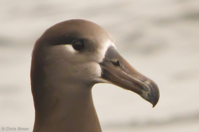 Black-footed Albatross at pelagic out of Bodega Bay, CA (10-15-2011) - 010.jpg