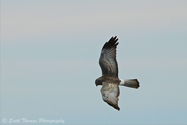 Harrier hawk (Circus cyaneus) soaring over the Montezuma National Wildlife Refuge near Seneca Falls, New York.