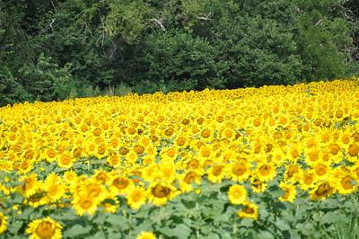 2009-08-28 Kansas Sunflowers